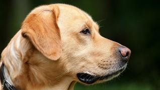 Selamatkan Bayi, Anjing di Thailand Dianggap Pahlawan