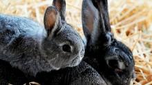 Rupa Seekor Hewan Picu Perdebatan antara Burung dan Kelinci