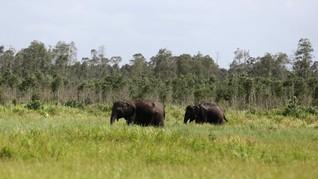 Perlintasan Gajah Sumatera di Bengkulu Akan Dijaga Ketat