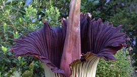 Bunga Bangkai Raksasa Mekar di Lampung