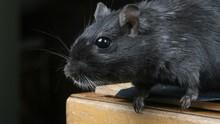 NASA Berhasil Kirim Tikus ke Stasiun Luar Angkasa