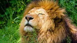 Pemburu Liar Tewas Diinjak Gajah Lalu Dimakan Singa
