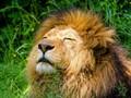 Wanita Nekat Pukul Singa demi Selamatkan Anjing Piaraan