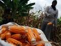 Menko Darmin: Impor Jagung Usul Kementerian Pertanian