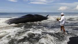 Dua Ekor Hiu Paus Terdampar di Nusa Penida