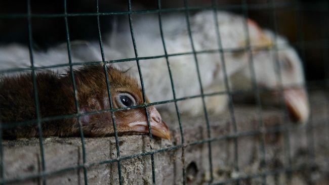 Asia Dihantam Coronavirus, Eropa Dibayangi Flu Burung