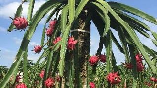 Warga Bangka Buat Teh dari Bunga Buah Naga