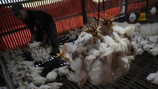 Harga Ayam Anjlok, Peternak Teriak Rugi 6 Bulan Terakhir