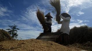 Harga Gabah Naik, Daya Beli Petani Menguat pada Agustus