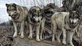Volkosob, Serigala Penjaga Perbatasan Rusia