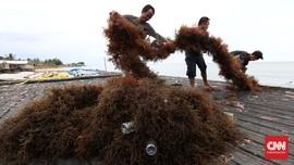 Bersiap Tak Lagi jadi Pemasok Rumput Laut Mentah Dunia