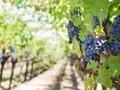 Anggur Terbaik di Dunia Berasal dari Argentina