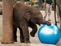 Bayi Gajah Sumatera Lahir di Taman Nasional Tesso Nilo