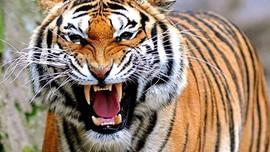 Masa Depan Harimau Sumatera