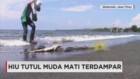 Hiu Tutul Mati Terdampar di Pantai Situbondo