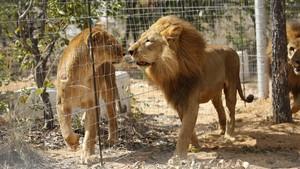Netizen Tertawakan 'Singa' Lepas di Kebun Binatang Jepang