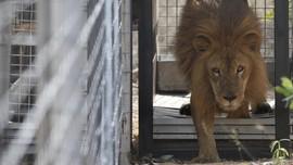 Singa Baru di Taman Nasional Liwonde