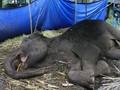 Menteri Siti Janji Selidiki Kematian Gajah di Bandung