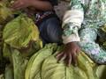 Sampoerna Cegah Anak-anak Bekerja di Pertanian Tembakau