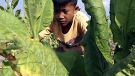 Sampoerna Angkat Suara soal Pekerja Anak di Ladang Tembakau