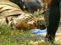 Harimau Disita dari Kuil di Thailand