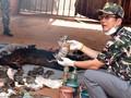 Ditemukan 40 Bangkai Anak Harimau di Kuil Thailand