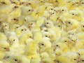 Bill Gates Sumbang 100 Ribu Anak Ayam ke Berbagai Negara