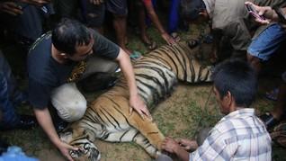 Harimau Sumatra Ditombak Mati Usai Merangsek Rumah Warga