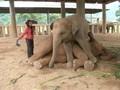 Menidurkan Gajah di Margasatwa Thailand dengan Nyanyian