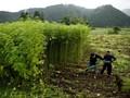 Budi Waseso Berharap Ganja Tak Lagi Ditanam di Aceh dan Sumut