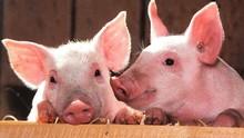 Flu Babi Afrika Ditemukan di Pangsit Beku China