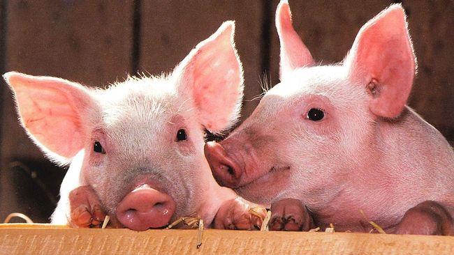 Tekan Sebaran Flu Babi, FAO Tekankan Pentingnya Biosekuriti