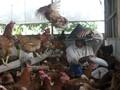 Peternak Kecil 'Terimpit' Harga Ayam
