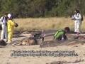 Chile Selidiki Banyaknya Lumba-Lumba Terdampar
