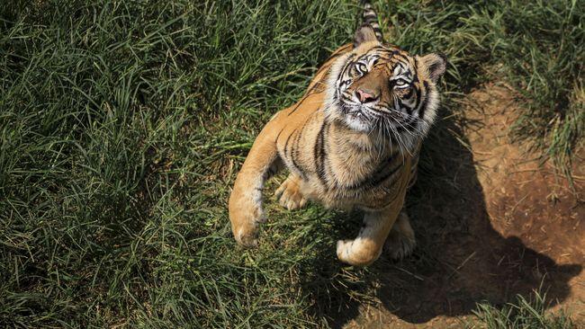 Tangkap Harimau Sumatera, Petugas Buat Jebakan dan Sebar Rusa