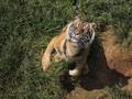 Cegah Serangan Harimau, Polisi Imbau Warga Bertopi Terbalik