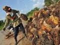 Alasan Pemerintah Ubah Batas Harga Pungutan Ekspor Sawit