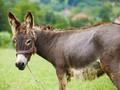 Pembelian Keledai China Sebabkan Masalah di Afrika
