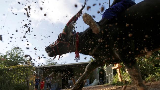 Di antara semua tradisi, yang paling mendebarkan tentu saja balap dan adu banteng. Tiap-tiap kepala banteng diberi hiasan yang meriah. (REUTERS/Samrang Pring)