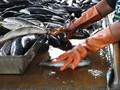 Moratorium Eks Kapal Asing 'Tenggelamkan' Pendapatan Nelayan