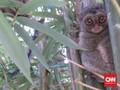 Tarsius, Primata Imut dari Celebes