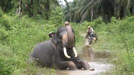 Diinjak Gajah Liar, Petani di Aceh Dirawat Intensif