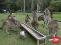 Kehabisan Makanan, Gerombolan Kangguru Turun ke Jalan
