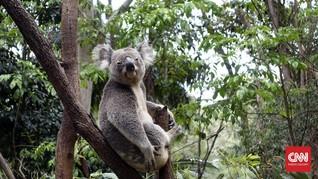 Seminggu Diselamatkan, Koala Korban Karhutla Australia Mati
