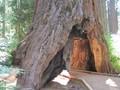 Pohon 'Berlorong' di California Ditumbangkan Badai