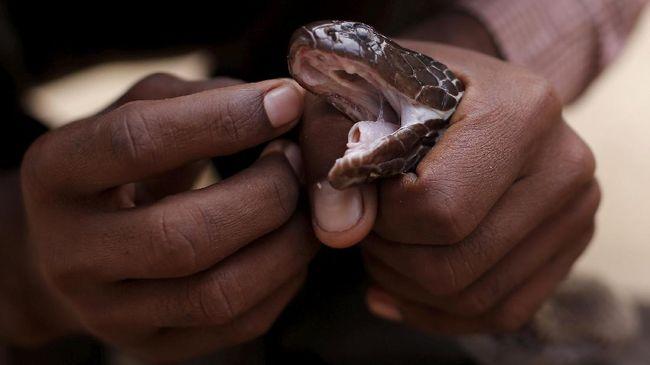 51 Kasus Gigitan Ular di Jabar, 10 Orang Meninggal Dunia