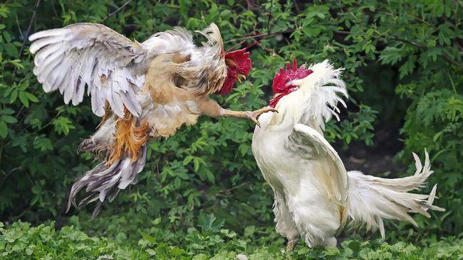 6600 Koleksi Gambar Binatang Peliharaan Ayam HD Terbaru