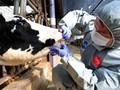 Wabah Penyakit Mulut dan Kaki Melanda Ternak Korea Selatan
