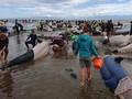 Ratusan Paus Tewas Terdampar di Pantai Selandia Baru