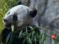 Panda, Hewan Gemas yang Bisa Netralisir Sianida di Tubuhnya